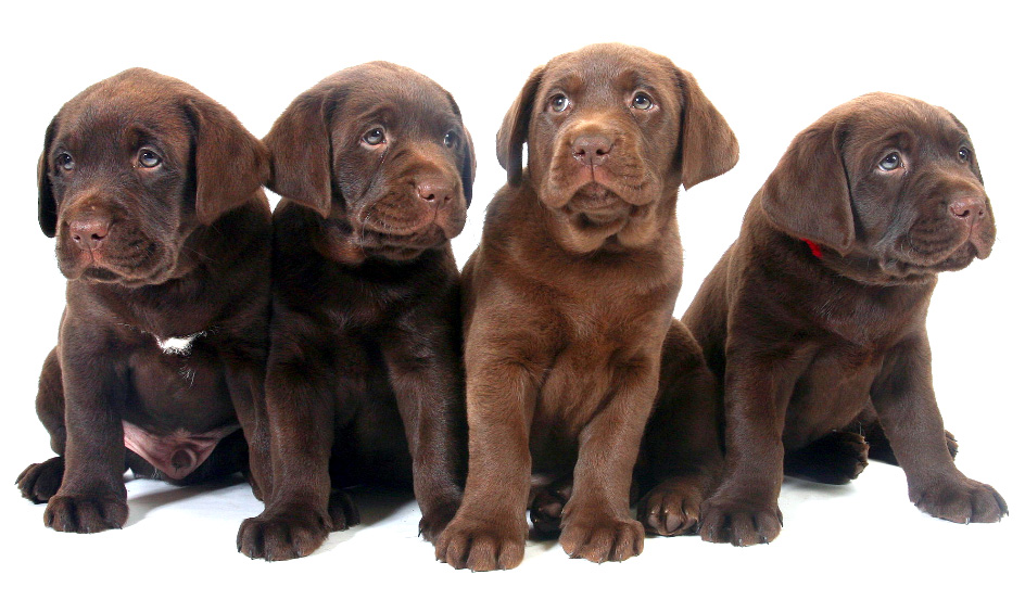 Cachorros de labrador retriever color chocolate