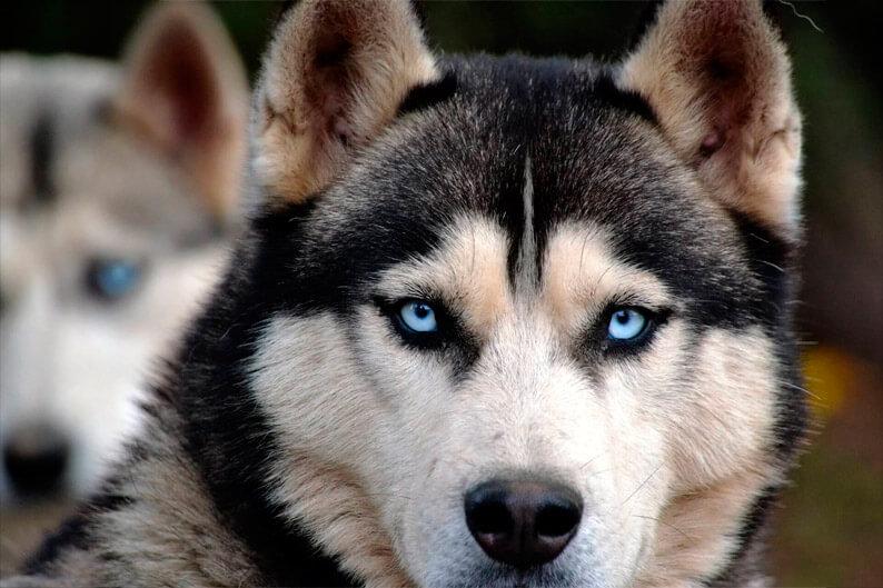Foto bonita de perro Husky SIberiano adulto