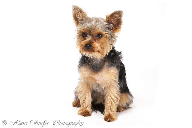 Perros de raza Yorkshire Terrier (foto)