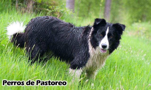 Border Collie-perros de pastoreo