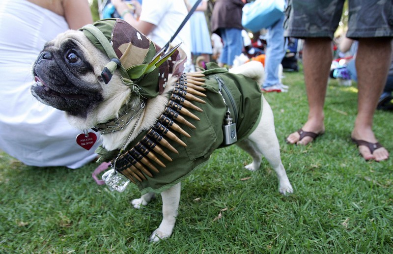 Pocky, a Pug dog, is dressed in a milita
