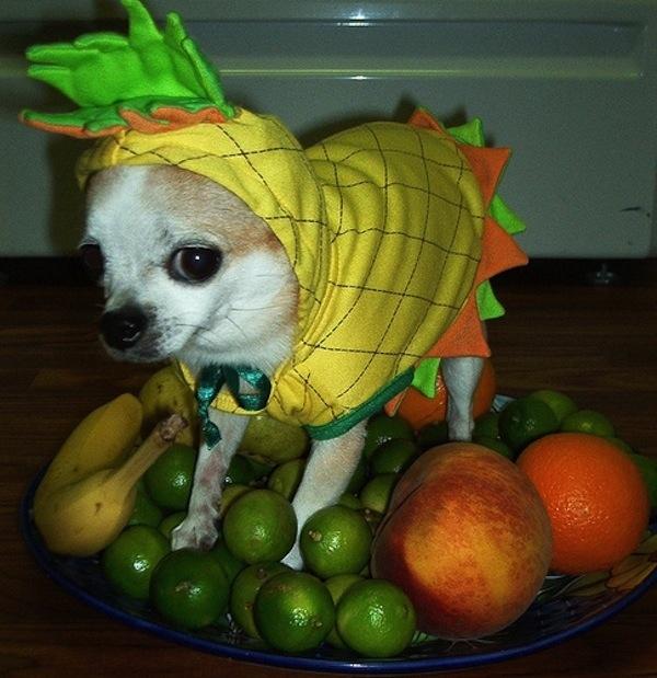 Disfraces para perros en halloween (16)