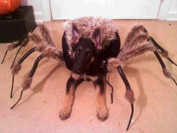 Disfraces para perros en halloween (17)