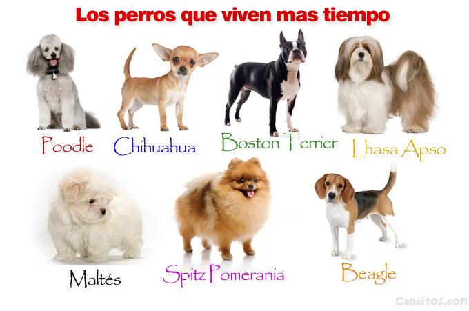 Conoce las razas de perros que viven más tiempo | Cancitos