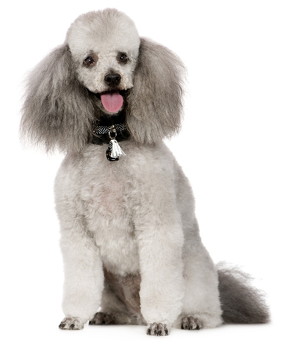 Perr Poodle o Caniche