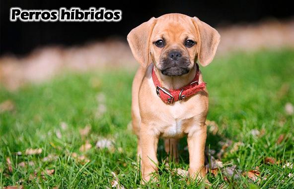 Puggle-Perros híbridos