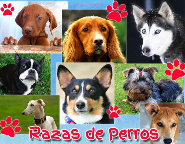 Razas de perros - Cancitos.com