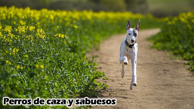 Whippet perro de caza