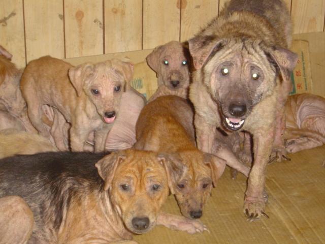La sarna en los perros enfermedad de la piel