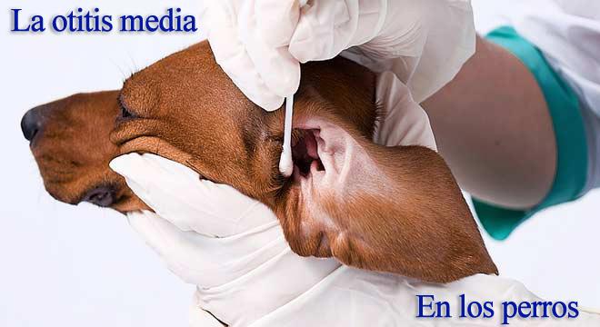 Perros con otitis Fotos