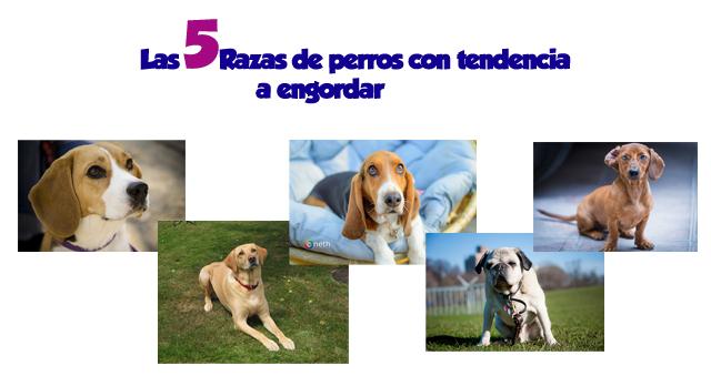Las 5 razas de perros que son más propensas a engordar