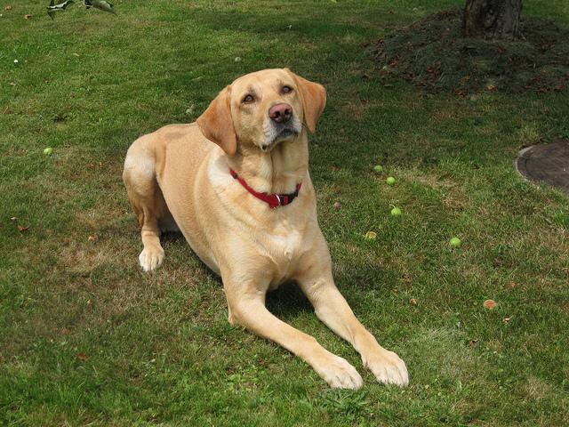Labrador Retriever perro con tendencias a la gordura. Marco PETER