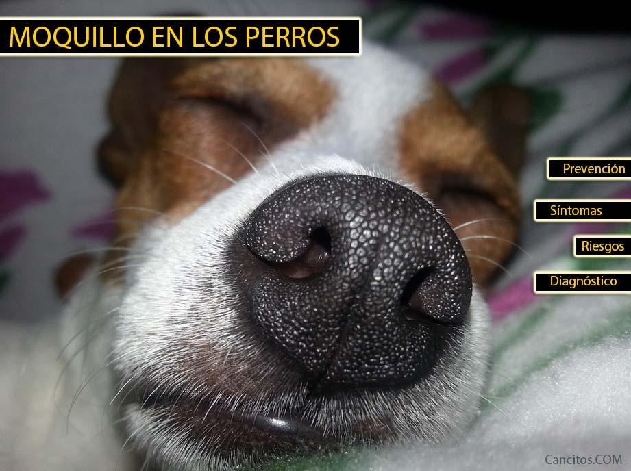 Enfermedad de moquilo en perros