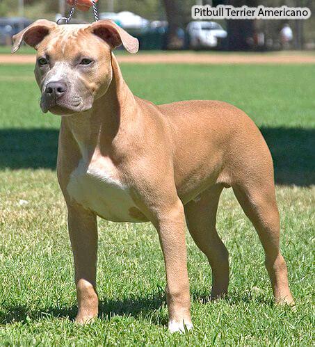 Perros Medianos La Raza De Perro Pitbull Terrier Americano