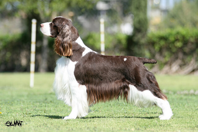 El perro Springer Spaniel Inglés