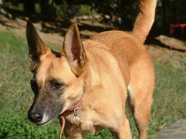 Perros de raza Malinois belga. Imagen: https://www.flickr.com/photos/andreapaiola/