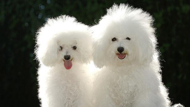 Perros pequeños de raza caniche