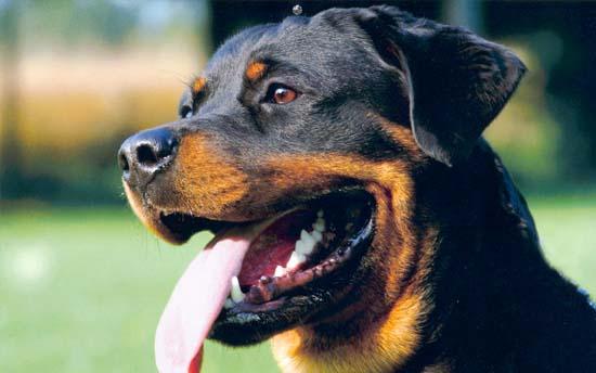 Foto de perro Rottweiler Negro