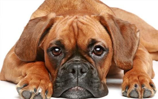 Foto de perro raza Boxer café