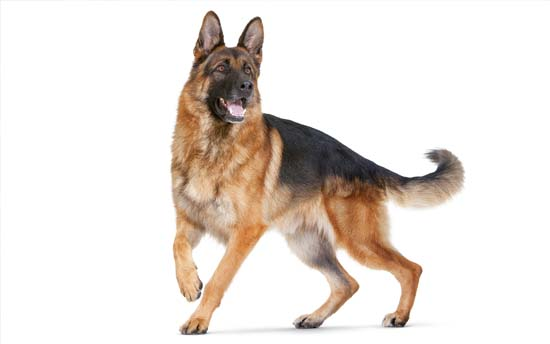 Raza de perro pastor alemán