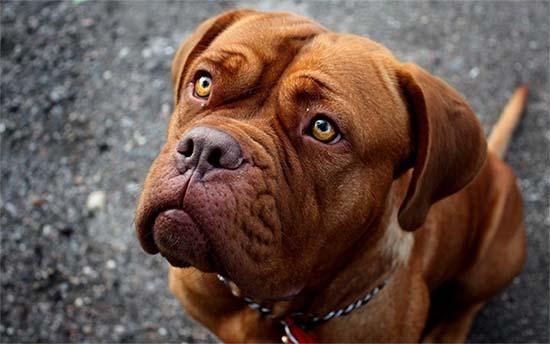 El perro Pitbull Terrier Americano