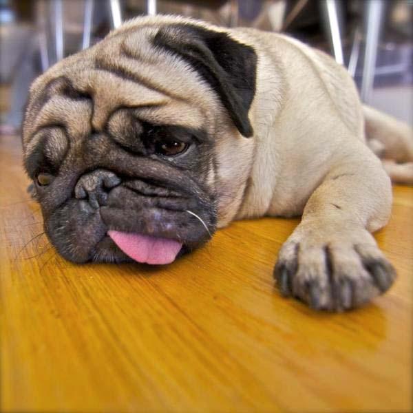Perros enfermos de acidosis