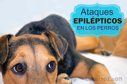 La epilépsia en los perros y su tratamiento