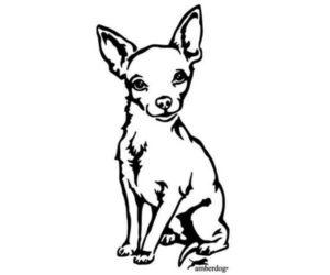 Chihuahua bonito