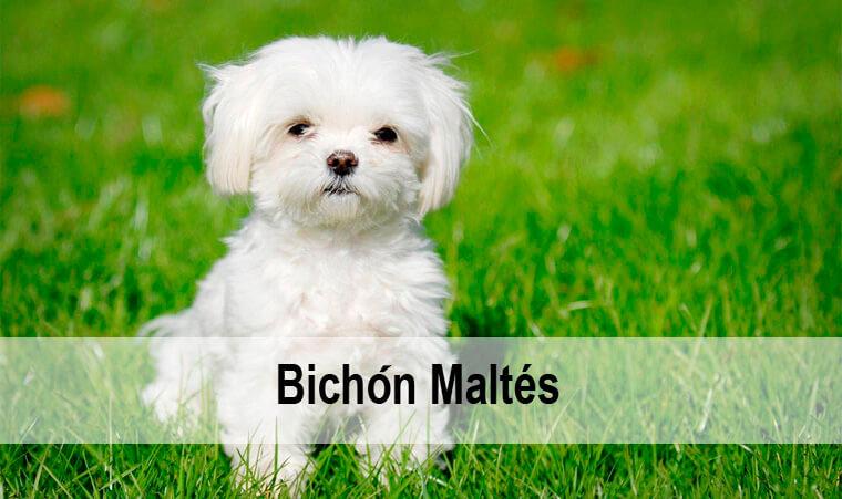 El perro Bichon Maltes y su descripción