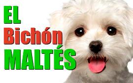 Perros de raza Bichón Maltés