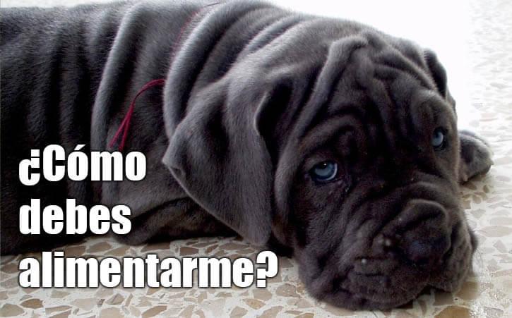 ¿Cómo debes alimentar a un perro Mastín Napolitano?