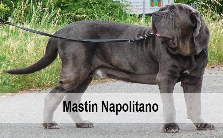 Foto de perro grande raza Mastín Napolitano gris
