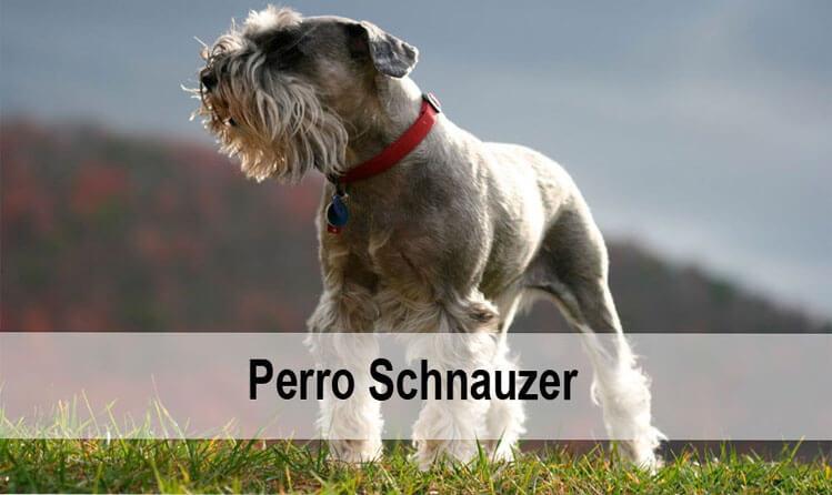 Perro Schnauzer Una Raza Amigable Y Protectora Del Hogar Cancitos