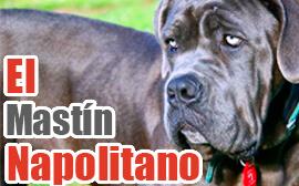 Imágenes de perros mastín Napolitano