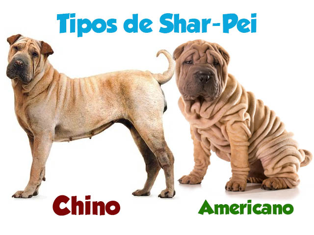 TIpos de perros sharpei existentes