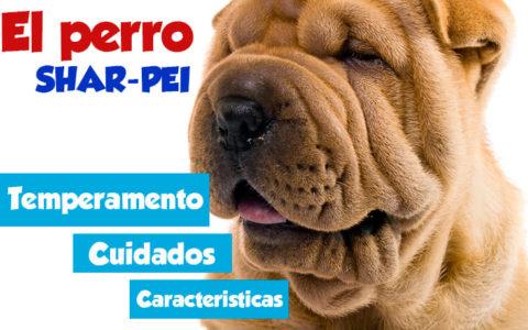 Perro Shar Pei y sus cuidados