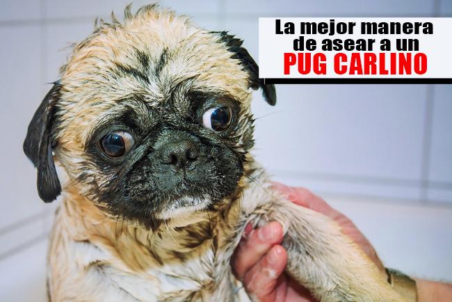 Aprende como bañar a un perro Pug Carlino