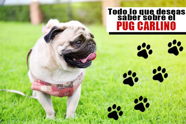 Los perros Carlinos y sus características principales
