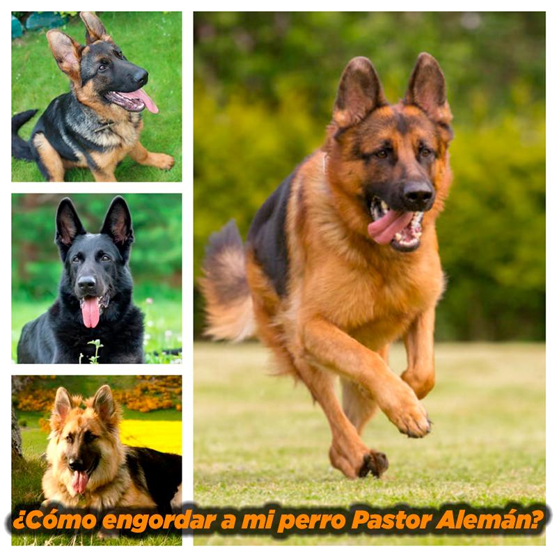 ¿Cómo Engordar a mi Perro Pastor Alemán?