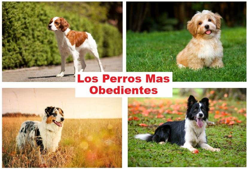 Los Perros Mas Obedientes del Mundo: 5 Razas Selectas Para Adoptar y Entrenar