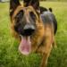 El perro con el mejor sentido del olfato del mundo: 10 razas de perros de nariz muy desarrollada